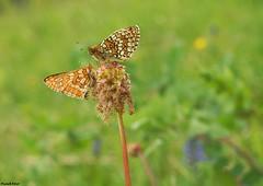 Les Papillons - Malans
