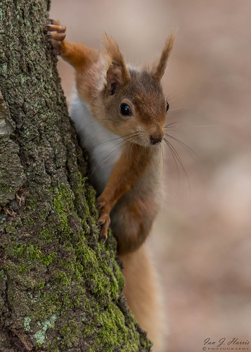 Red squirrel ( Explored )
