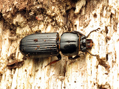 Giant Bess Beetle