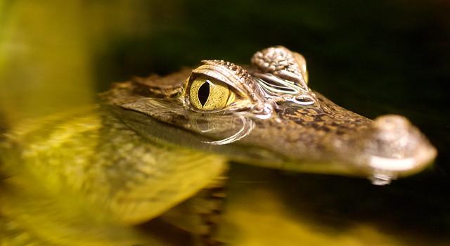 Itty Bitty gator