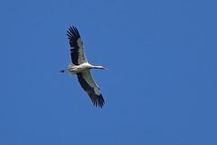 White Stork Chateau Mont Symond France 20-4-19