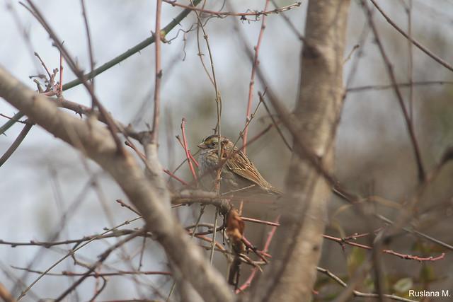 White-throuthed sparrow
