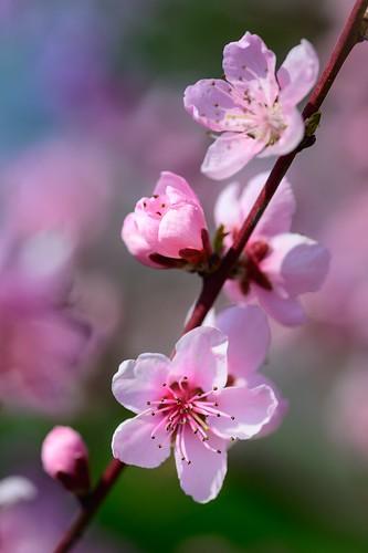 Peach blossoms 🌸