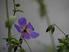 Un petit violet sympa - Photo of Saint-Léger