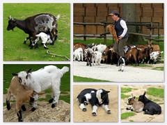 Les chèvres de