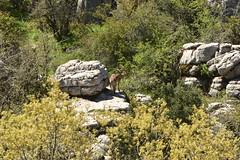 Capra pyrenaica / Iberian Ibex