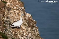 Gannet Standing Guard