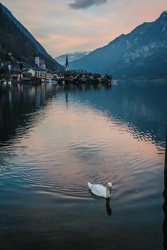 Swan in Halstatt Austria