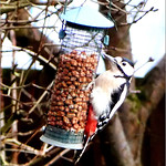 Great spotted Woodpecker by Peter Fox