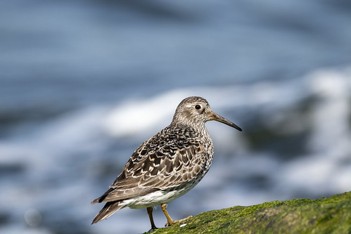 Sandpiper watching the ocean