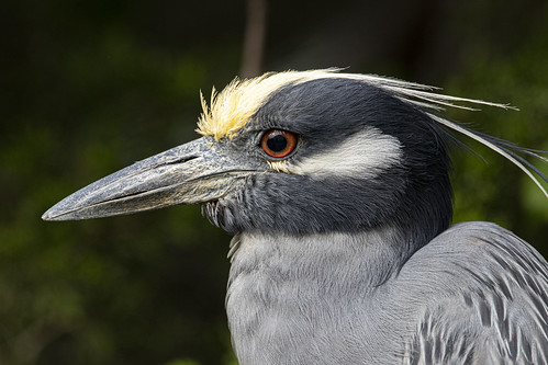 Portrait of a Yellow-crowned Night-Heron