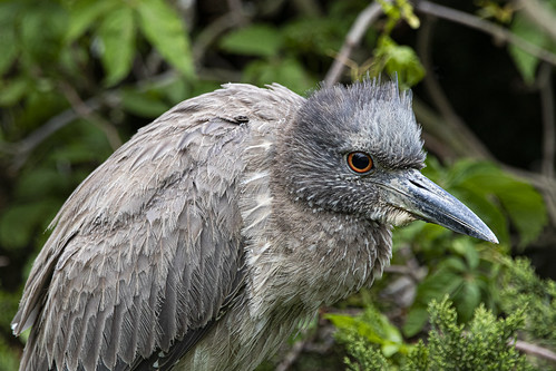 Close view of a Juvenile Night-Heron