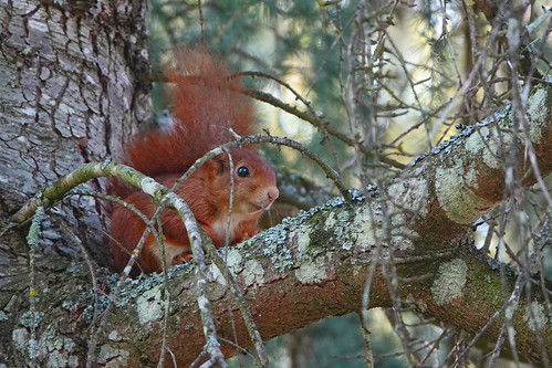 Red Squirrel Chateau Mont Symond France 20-4-19