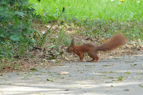 Red Squirrel Chateau Mont Symond France 23-4-19