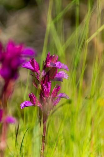 Wild orchids of my environment ......., Orquídeas Silvestres de mi entorno.......