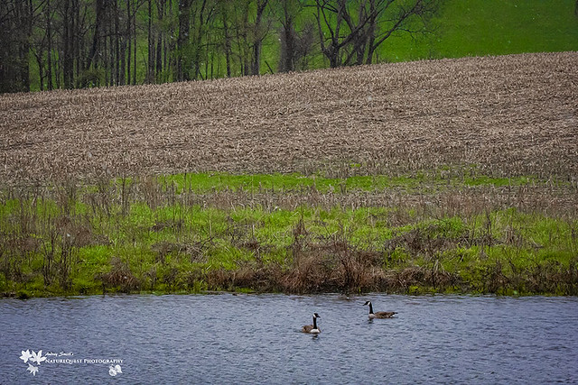 Canada geese 1773-2