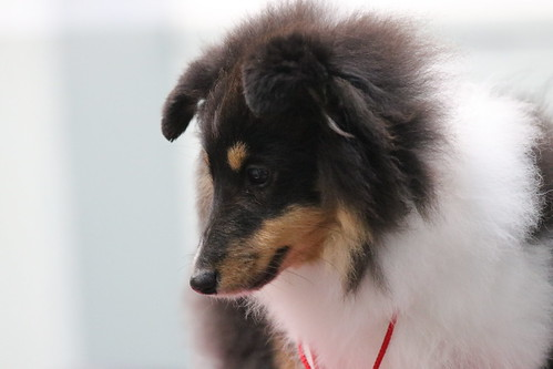 Central Shetland Sheepdog Club Championship Show