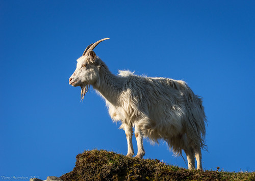 Galway Goat.