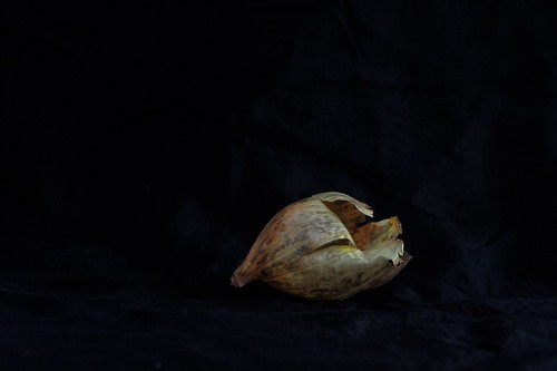 onion (skin)