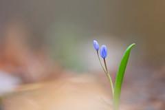 Scille à deux feuilles (Scilla bifolia) - Photo of Hœrdt