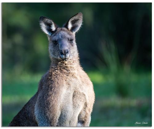 Buck Male Kangaroo