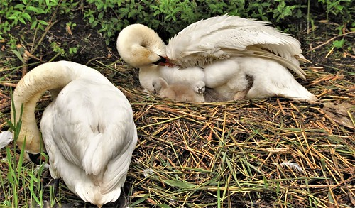 The family swan