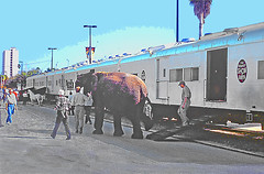 Marching the Elephants  from Railcars to Arena in Downtown St.Petersburg