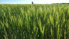 Grüne Gerste - green barley