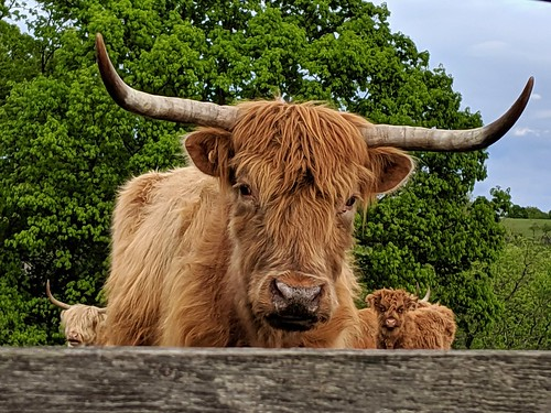 365/134 2019-05-14_07-28-48 highland cattle