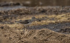 Solitary Sandpiper at BARC