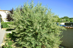 France, les oliviers sont en fleurs surtout celui-ci - Photo of Fleury