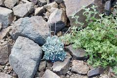 Mt Umunhum flower DSC_0161