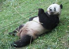 OTH0007 Panda Smithsonian National Zoological Park Washington DC USA 09.05.2014