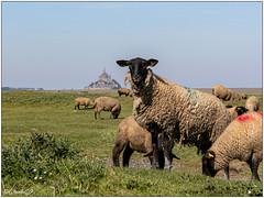Les moutons des pré-salés