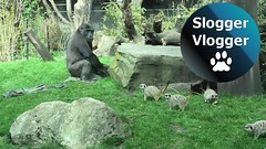More From The Gorillas And Meerkats From Artis Zoo