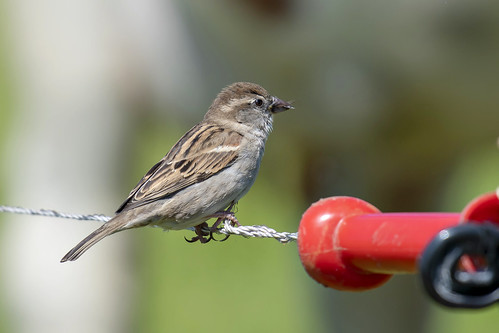 Huismus, House Sparrow (Passer domesticus)