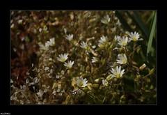 Fleurs sur le Lapiaz de Myon