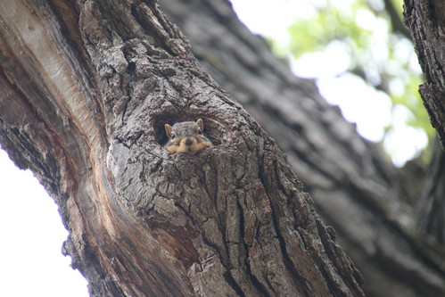 Juvenile & Adult Fox Squirrels on Spring Days at the University of Michigan - May 17th, 2019