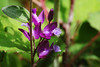Photo:Polygala japonica  ヒメハギ By ashitaka-f studio k2