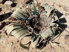 Welwitschia mirabilis - Namibie