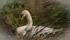 Swans, Dunham Park