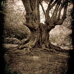 Ancient Oak Epping Forest by Derek Dewey-Leader