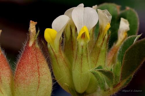 Anthyllis tetraphylla