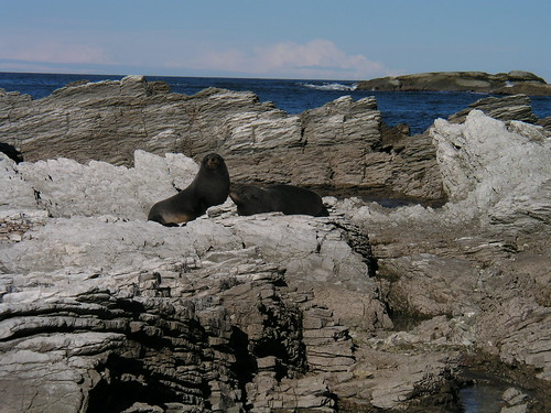 2 fur seals on coastal rocks near Kaikoura in NZ 6-25-03