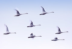 Swans Flying Over Loch Insh