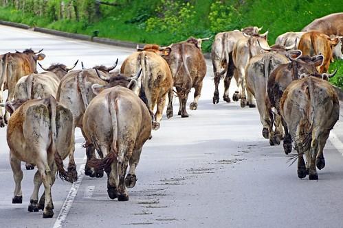 Espagne, les vaches de la Hermida en Cantabrie