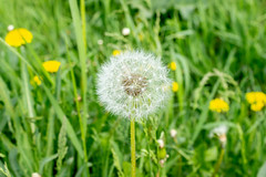 Dandelion in the meadow on a spring morning