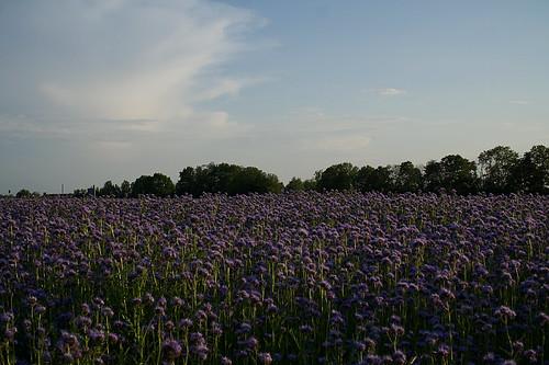 Bienenfreund Feld