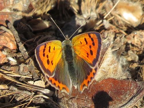 Lycaena phlaeas (Small Copper)