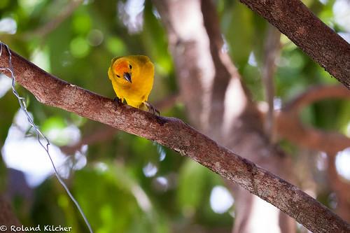 Finch, Saffron